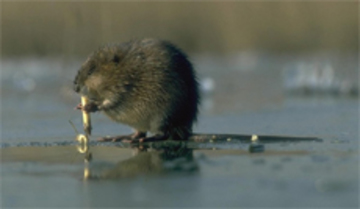 muskusrat in water
